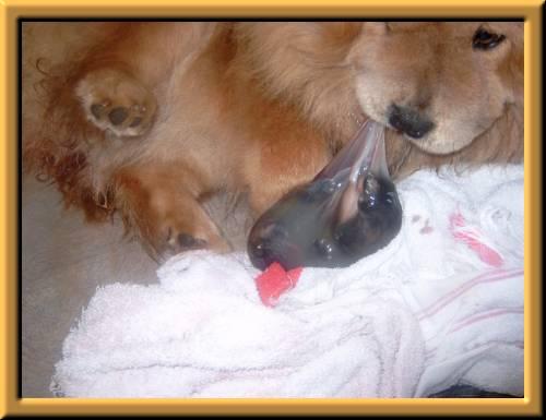hunde fødsel